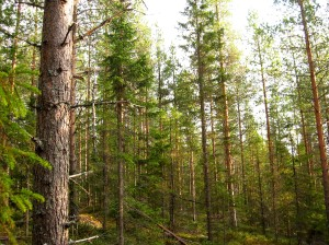 Boreal_forest
